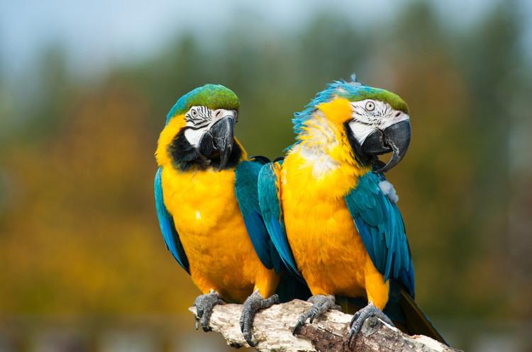 Vẹt và quạ là 2 loài chim có tế bào não cao nhất.