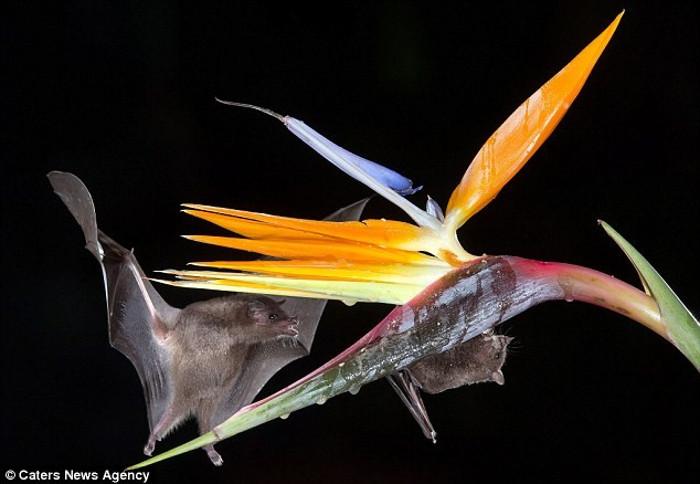 Một con dơi hút mật hoa của bông hoa có màu cam sặc sỡ sau khi bị hấp dẫn bởi mùi thơm