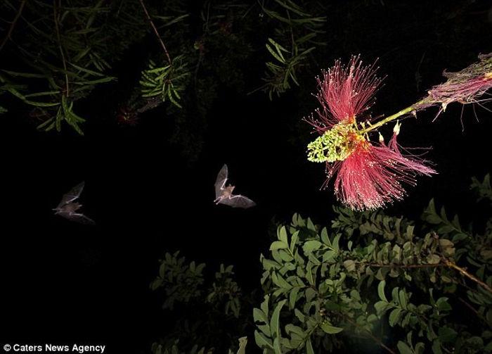 Loài dơi ở Costa Rica chủ yếu kiếm ăn về đêm, một trong những món ăn ưa thích của loài động vật này là mật hoa rừng
