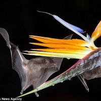 Cận cảnh dơi hút mật hoa trong đêm tối