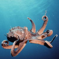 Video: Vũ khí bí mật giúp bạch tuộc thống trị đại dương