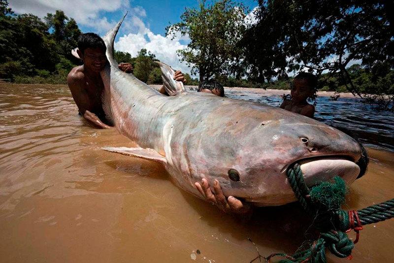 Thái Lan có một trong những loại cá nước ngọt lớn nhất thế giới - cá tra dầu sông Mekong, với trọng lượng có thể lên tới hơn 300 kg.