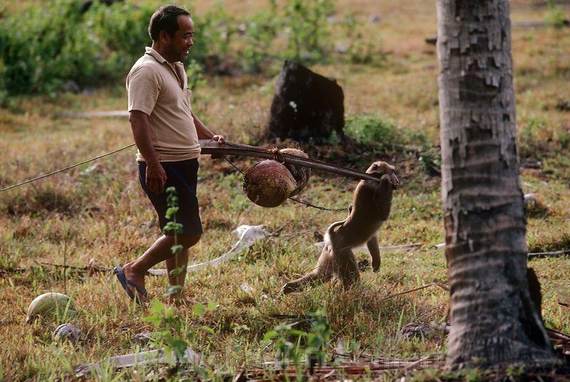 Thái Lan có một trường học dành riêng cho khỉ, có tên Cao đẳng Khỉ Thani.