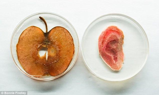 Dự án trồng tai người từ tế bào của những lõi táo ăn dở.