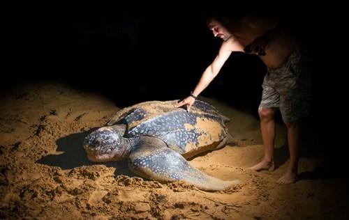 Rùa biển Leatherback