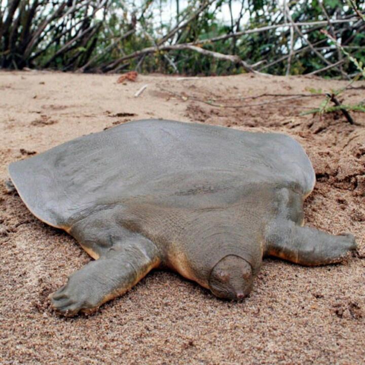 Rùa mai mềm khổng lồ của Cantor