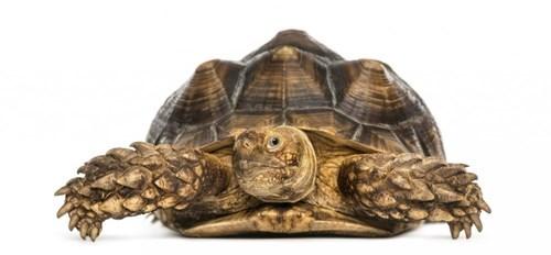 Rùa cựa Châu Phi