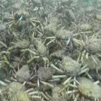 """Video: Rợn gáy cảnh đàn cua """"khủng"""" xâm chiếm đáy biển"""