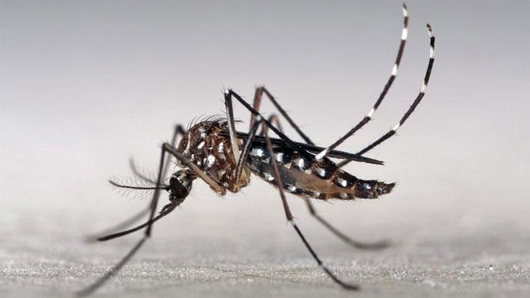 Muỗi cái Aedes aegypti được nghiên cứu tại Trung tâm kiểm soát dịch bệnh Mỹ.