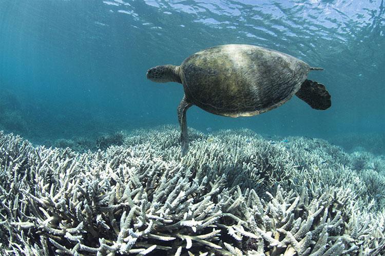 Một rặng san hô bị bạc trắng tại Australia.