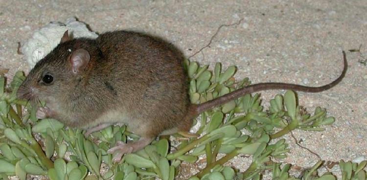 Chuột Bramble Cay Melomys - loài thú có vú đầu tiên bị tuyệt chủng vì biến đổi khí hậu.