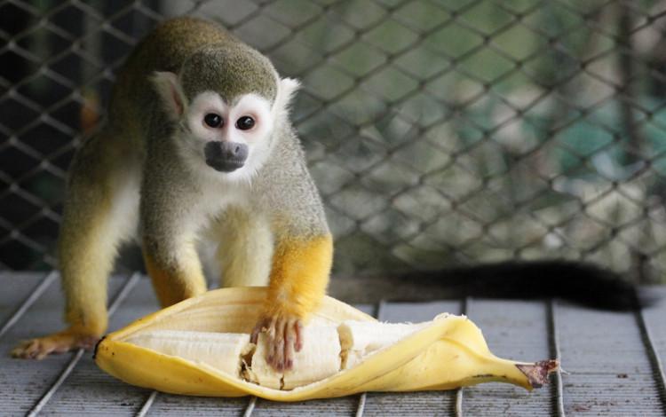 Khỉ hoang dã không thường xuyên ăn chuối.