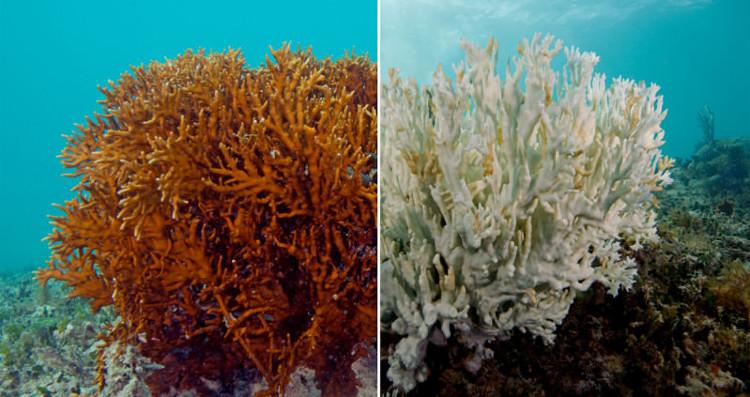 San hô cũng đang trên bờ tuyệt chủng.