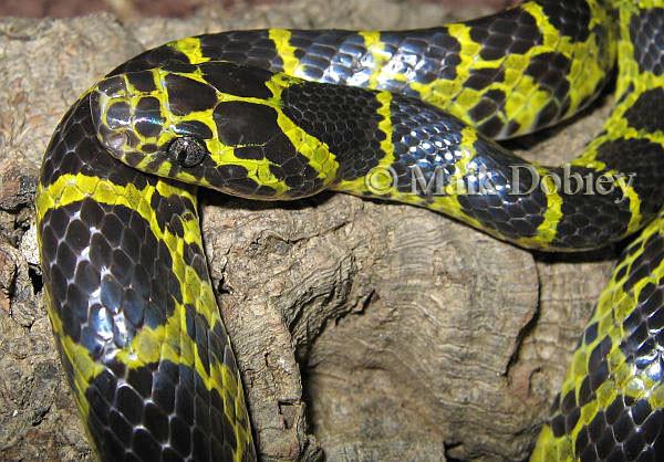 Cận cảnh loài rắn Dinodon meridionale.