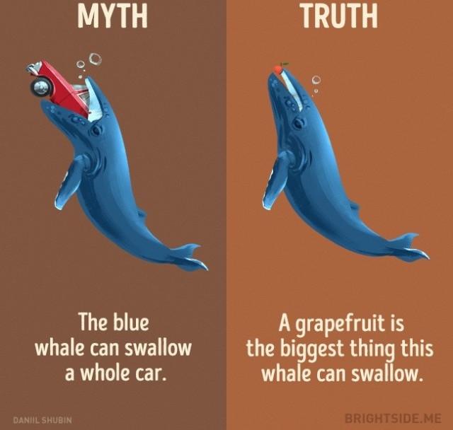 Cá voi xanh có thể nuốt một chiếc xe hơi? Sự thật thì quả bưởi là thứ lớn nhất mà loài cá voi này có thể nuốt.