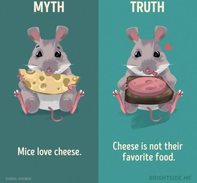 Chuột thích pho mát? Sự thật pho mát không phải là thức ăn yêu thích của chúng.