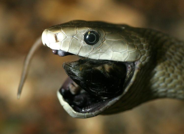 Khoang miệng đen xì này chính là lý do vì sao chúng được gọi là Mamba Đen.