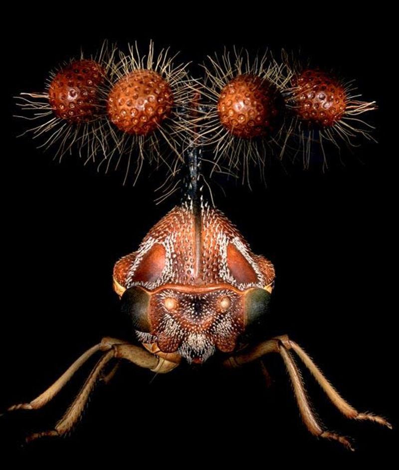 Treehopper Brazil