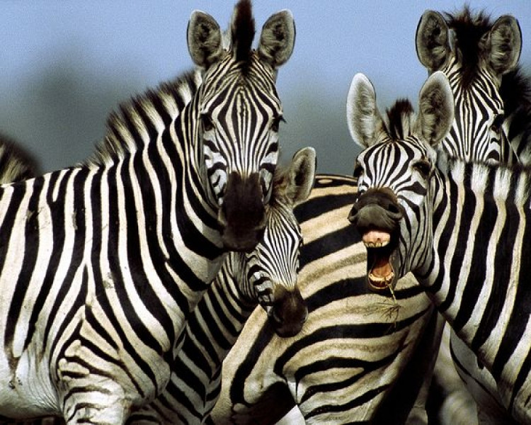 Ngựa vằn cho dù có thuần hóa được thì cũng chỉ để làm cảnh cho thiên nhiên mà thôi.