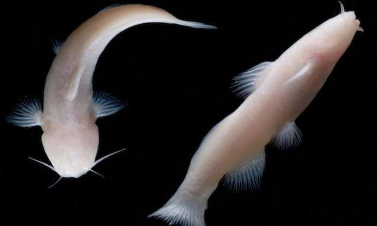 Loài cá này sống trong một hang sâu đá vôi trong Khu tái tạo Quốc gia Amistad, bang Texas.