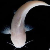 Mỹ phát hiện loài cá màu hồng không có mắt cực kỳ quý hiếm