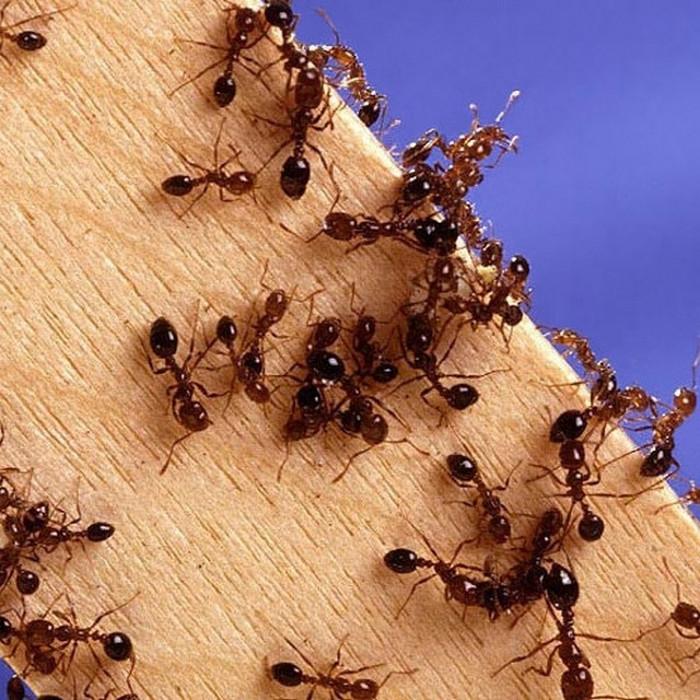 Loài kiến không thích mùi hương và các thuộc tính của cà phê.