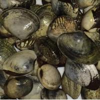 Phát hiện ung thư lây nhiễm ở các loài ngao sò
