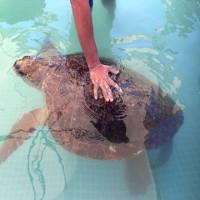 Cứu sống rùa biển bị con người đánh vỡ sọ