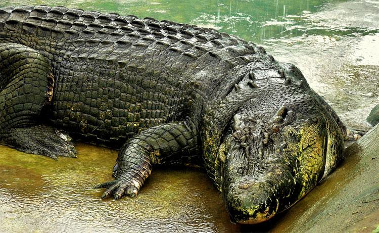 Cá sấu Cassius có kích thước khổng lồ.