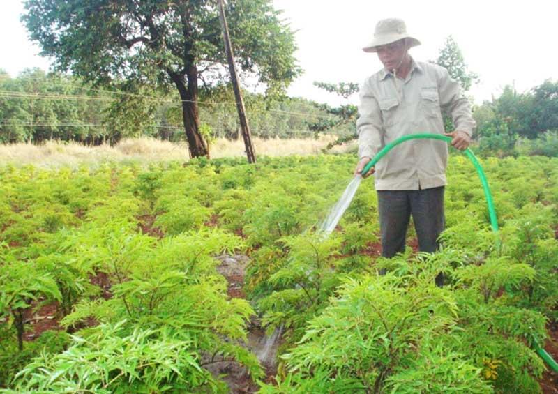 Kỹ thuật trồng cây đinh lăng không quá phức tạp