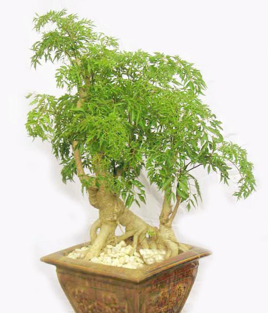 Loài cây này là một vị thuốc quý