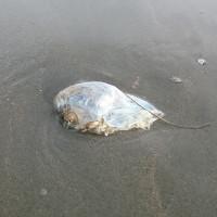 """Nhiều """"vật thể lạ"""" hình trứng xuất hiện ở bãi biển Trà Cổ"""
