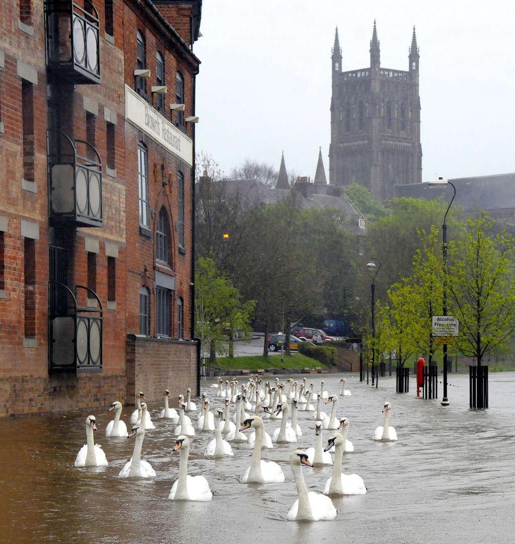 Thiên nga bơi qua đường phố của nước Anh sau một trận lụt.