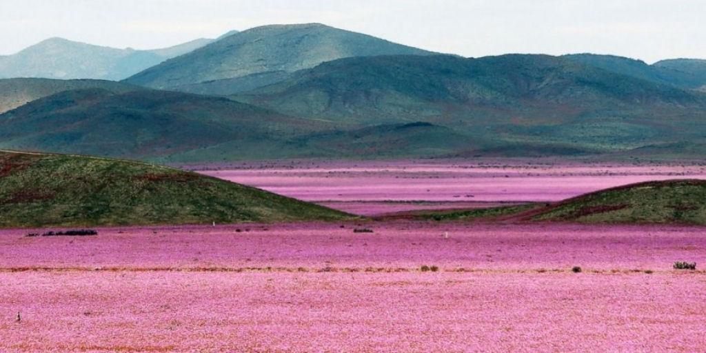 Sự hồi sinh của sa mạc: Sa mạc khô cằn nhất thế giới ở Chile khoe sắc ngàn hoa trong mùa mưa.