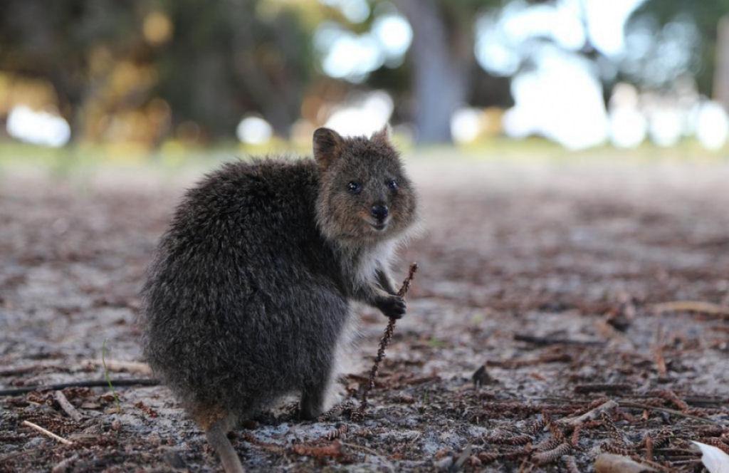 Chú chuột túi Quokka này trông như một nhà hiền triết thông thái.