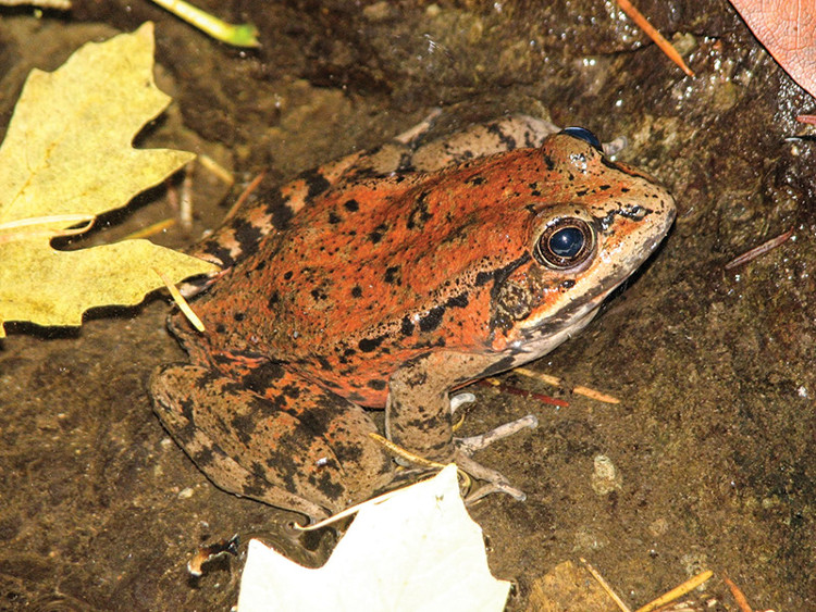 Loài ếch chân đỏ California (tên khoa học Rana draytonii).