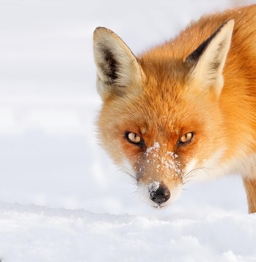 Loài cáo đỏ hoang dã trong tự nhiên.