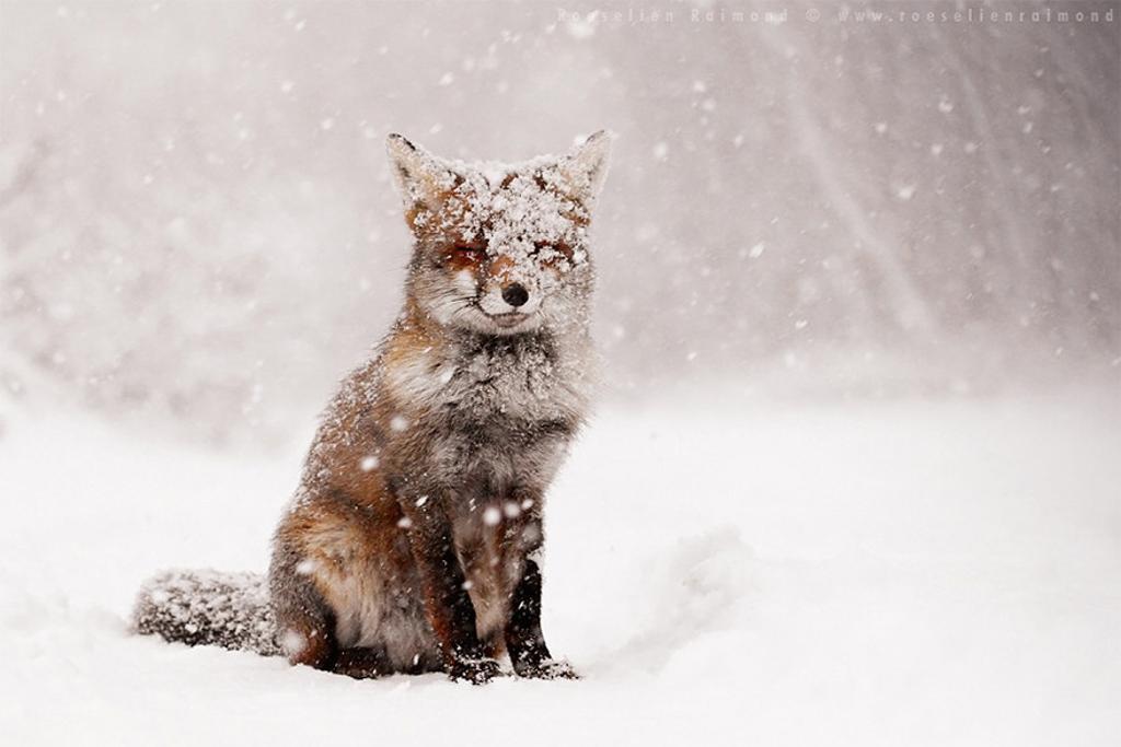 Khi cả thế giới đang bị tuyết trắng bao phủ, chỉ có tiếng gió tuyết ù ù bên tai, một con cáo đỏ bỗng xuất hiện. Nó tô điểm cho bức phông trắng của tôi thật hoàn hảo