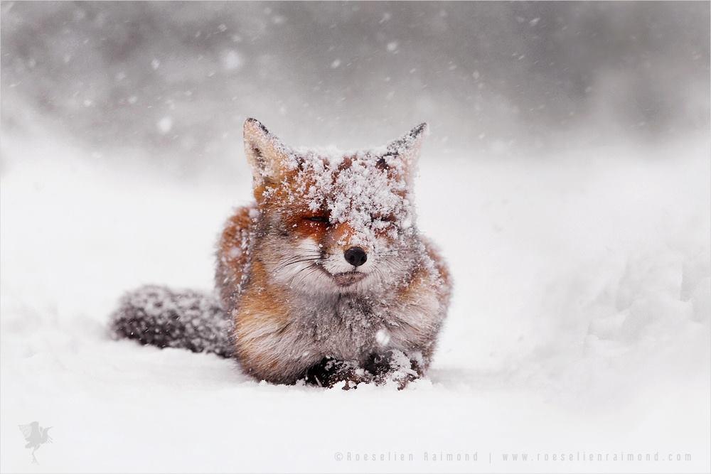 Con cáo đỏ xuất hiện trông rất bình tĩnh, thoải mái