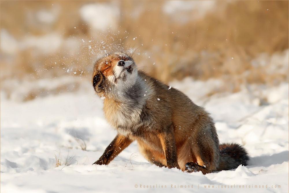 Mỗi con cáo có một cá tính riêng