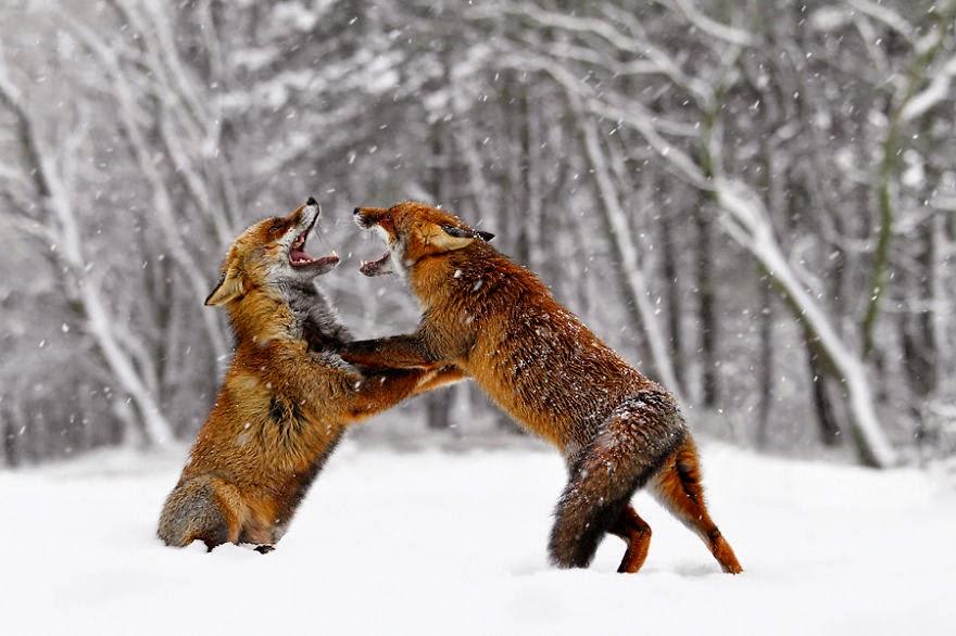 Từ khi loài cáo không còn bị săn bắn nữa, chúng trở nên gần gũi hơn với con người.