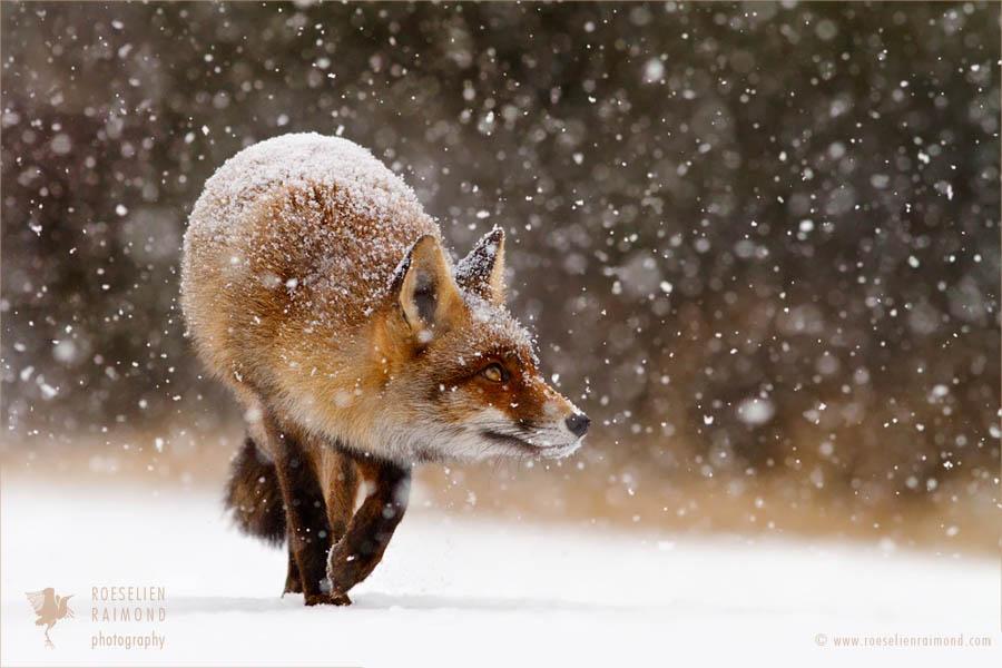 Khoảnh khắc đặc biệt của loài cáo đỏ