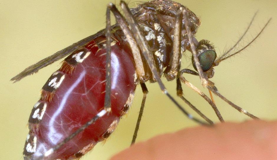 Loài muỗi Gallinipper có tên khoa học là Psorophora ciliata sở hữu cú chích đau đớn như bị dao cứa.