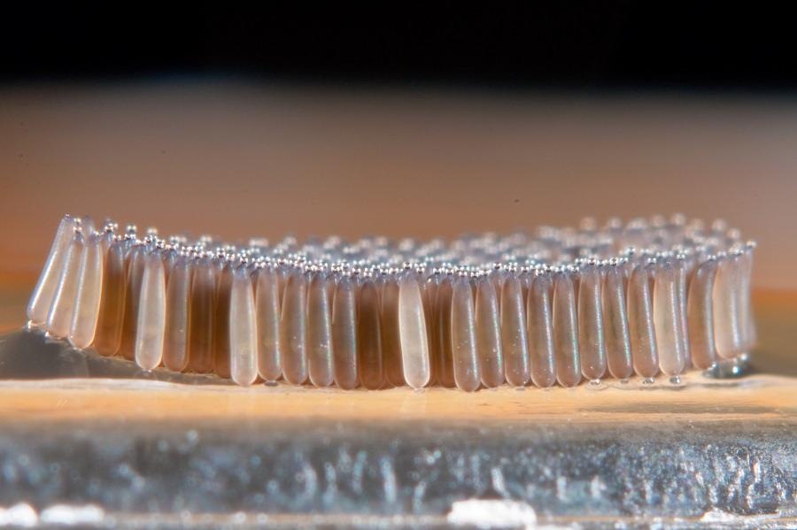 Trứng của chúng thoi dài khoảng 0,8 mm, đường kính 0,4 mm và có thể nằm trên cạn trong cả thời gian dài.