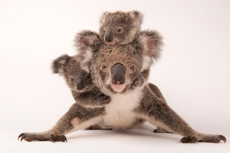 Babies on BoardWhen - khi những con gấu koala được sinh ra, chúng sẽ có 6 tháng được mẹ địu trên lưng.