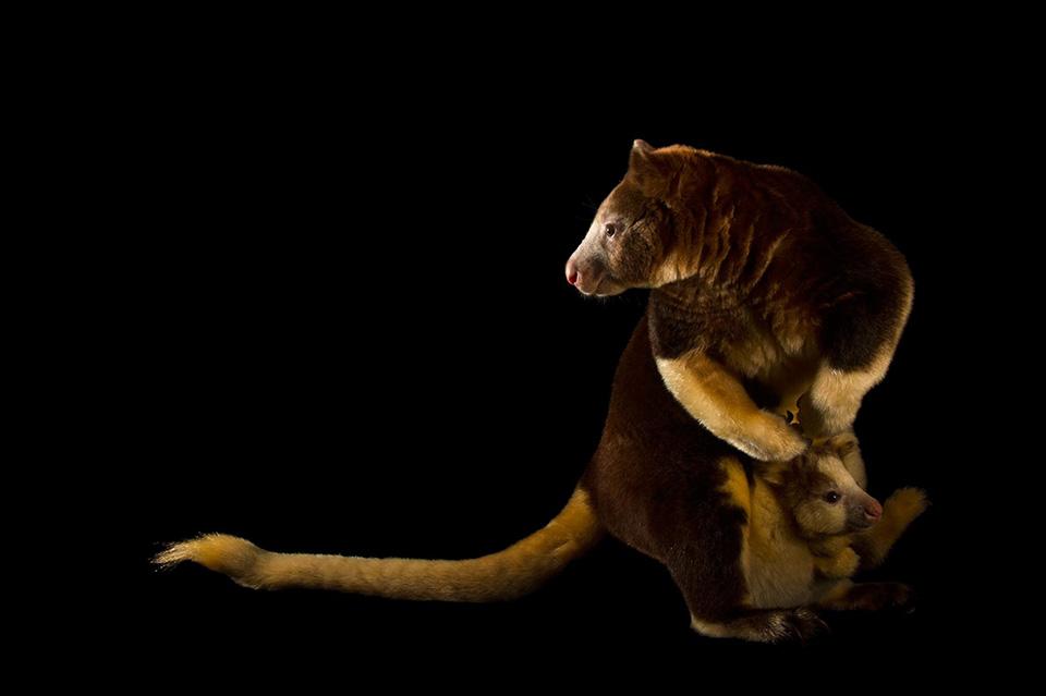 Life on the Outside - Vẫn là loài động vật đang có nguy cơ tuyệt chủng - một con chuột túi cây (Dendrolagus matschiei) đang nấp vào giữa 2 chân của mẹ nó.