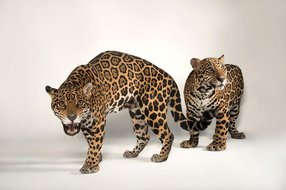 Like Mother, Like Son - Một con báo đốm (Panthera onca) đang học cách săn mồi từ mẹ nó trong giai đoạn 2 năm đầu đời.