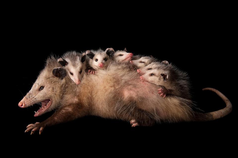 Group Photo - một con thú túi Virginia (Didelphis virginiana) đang âu yếm với những đứa con trên lưng.