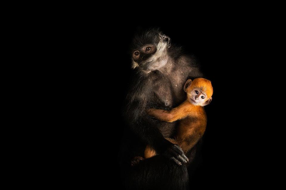 Monkey Business - Một cặp mẹ con Voọc đen má trắng (Trachypithecus francoisi) - loài động vật đang có nguy cơ tuyệt chủng.