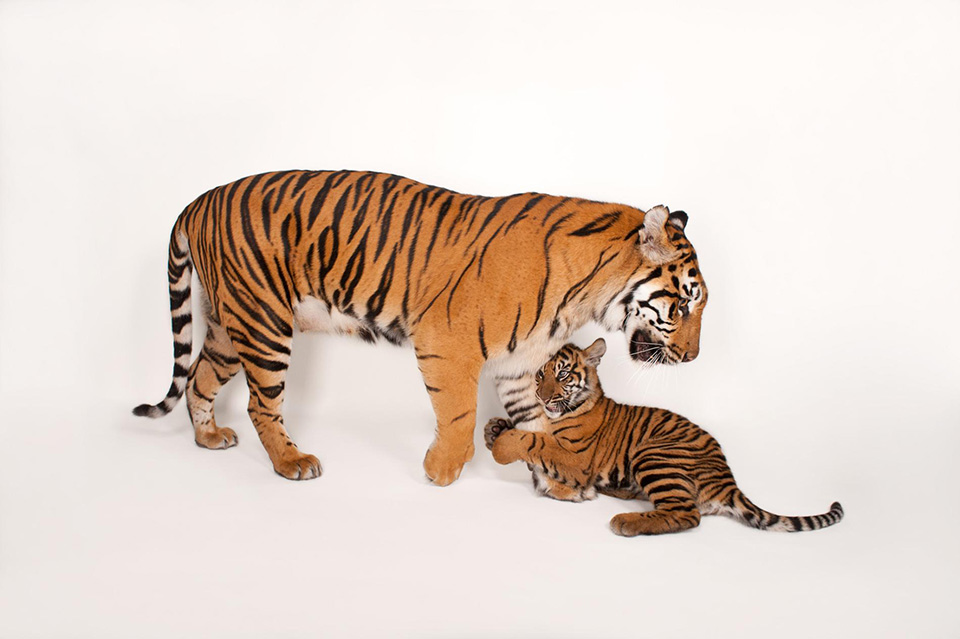Hey Ma - Một con hổ Sumatran (Panthera tigris sumatrae) đang chơi đùa với đứa con của nó và đây cũng là loài động vật đang có nguy cơ tuyệt chủng.